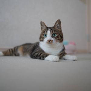 (猫1158)夢見が悪い飼い主とすっきりした顔の愛猫と