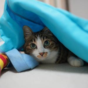 (猫1161)国税調査に回答せにゃまいね(´∀`;)の飼い主と袋の下にもぐる愛猫と
