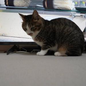 (猫1163)テレビ買った飼い主と新たなテレビの前を陣取る愛猫と