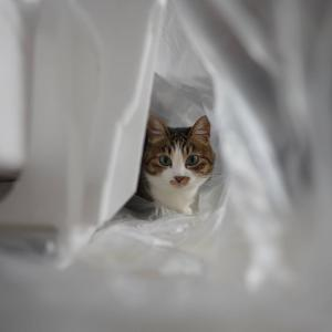 (猫1164)国勢調査でブラウザ非対応言われる飼い主とでかいビニールでかくれんぼの愛猫と