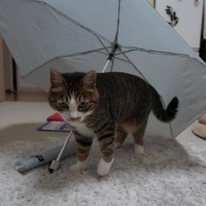 (猫1166)ほったらかし家電に目をつける飼い主と傘にもぐる愛猫と