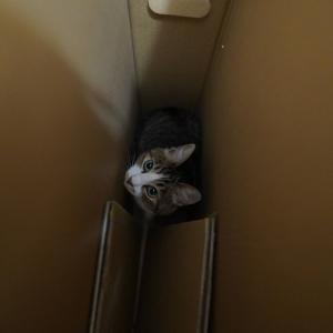 (猫1167)背後取られる飼い主と1mジャンプして段ボールINの愛猫と
