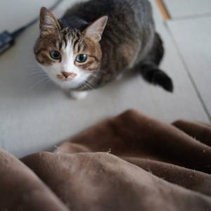 (猫1194)禿げ隠しの角度を探す飼い主と炬燵に物申す愛猫と