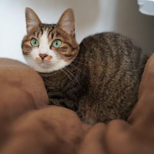 (猫1196)とにかく布団を占拠する愛猫