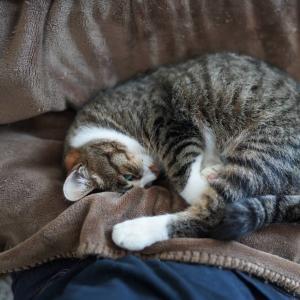 (猫1196)健康診断で色々詐称しようとする飼い主と膝の上占拠の愛猫と
