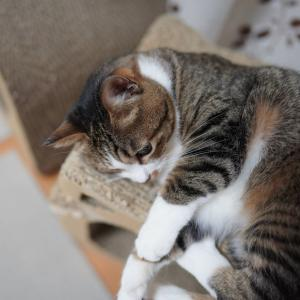 (猫1199)歯医者さんへGOの飼い主と愛用の爪とぎに満足する愛猫と
