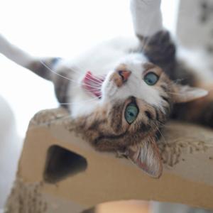 (猫1201)初めての銀歯と爪とぎでごろ擦り欠伸の愛猫と