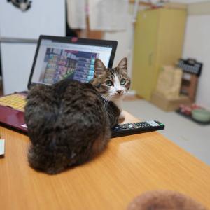 (猫1204)前の会社の人と電話する飼い主と居座っちゃいけないところに居座る愛猫と