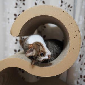 (猫1208)札幌行を悩む飼い主とぐねんぐねんしてる愛猫と