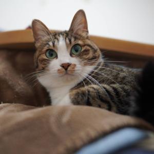 (猫1211)なんでもLR44だと思う飼い主と炬燵(外)好きな愛猫と
