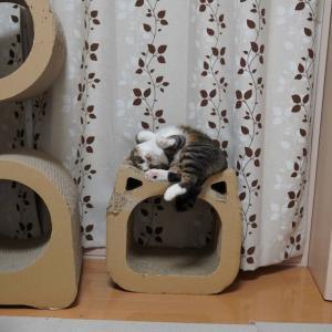 (猫1213)歯医者さんコワイの飼い主と目が合うと5秒でごろんの愛猫と