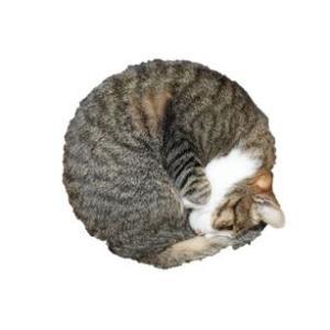 (猫1215)ほぼまんまるのアンモニャイトしてるうちの子を見てけろ(´∀`*)