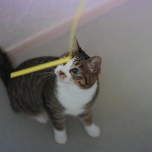(猫1216)一人アリンコモウダッシュ飼い主とひもでハッスルする愛猫と