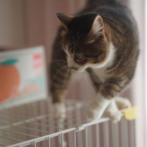 (猫1220)ノリタケのコラボセットに食指が動く飼い主とケージの上を器用に渡る愛猫と