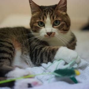 (猫1222)1Fさんが乗り込んできた話(前編)ととれかけのじゃらしもハッスルする愛猫と