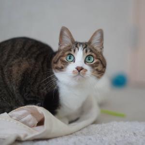 (猫1229)クリスマスツリー探す飼い主と買い物バッグ踏んづける愛猫と