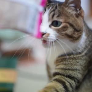 (猫1236)ライブ配信を見る飼い主と試供品のご飯でテンションあがる愛猫と
