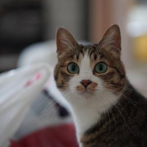 (猫1275)最後ももやっとの銀行口座解約と半纏奪う愛猫と