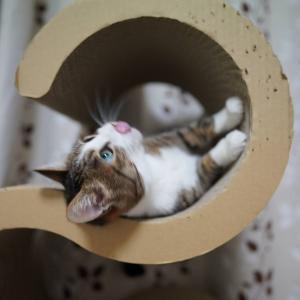 (猫1277)ミルクプリンがんまい話と爪とぎのカーブを満喫する愛猫と