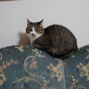 (猫1279)雪山作る隣の奥さんとくぼみにフィットの愛猫と