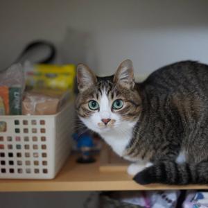 (猫1282)ホワイトアウトについて語りだす飼い主とちゃっかり棚に上がる愛猫と