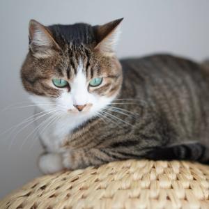 (猫1283)「乃が美」の高級食パンが気になる飼い主としっぽ踏んづける愛猫と