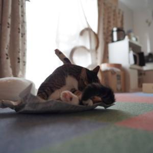 (猫1414)すかさず新聞紙のっとる愛猫とルピシアの紅茶福袋「松」購入でテンション高い飼い主と