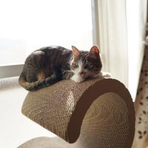 (猫1415)誕生日間違えられてる飼い主と爪とぎの上で伏せの愛猫と