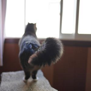 (猫1421)飼い主とよく目が合うチャトラ氏としっぽぶわぶわの愛猫と