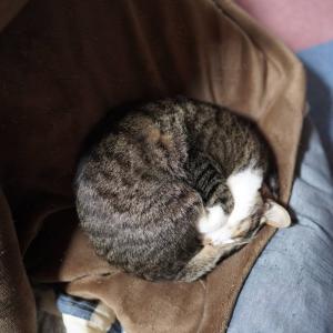 (猫1423)丸亀製麺のうどん弁当食べる飼い主と久々のアンモニャイトの愛猫と