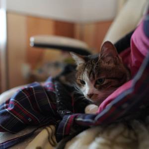 (猫1426)カーテン届いたぜヾ(*´∀`*)ノ゛と寒いので半纏踏んづける愛猫と