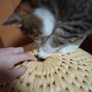 (子猫その31)なでれゴロゴロ。愛猫が寂しがってるかもしれない(猫1458)