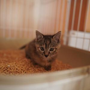 (子猫その36)体重計買う買う詐欺の飼い主と子猫のトイレ風景(猫1463)