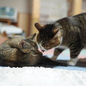 (子猫その60)昼寝して元気ため込む子猫と驚きのぺろぺろ愛猫と(猫1487)