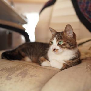 (子猫その66)子猫にサンマの頭食われた飼い主とおくつろぎの愛猫と(猫1494)