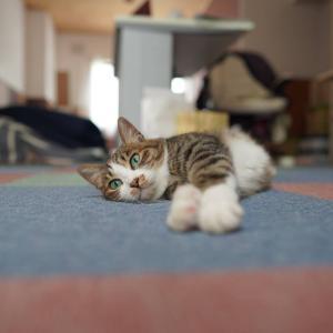 (子猫その70)愛猫のトイレ使う子猫とやっぱり床でだらーの愛猫と(猫1498)