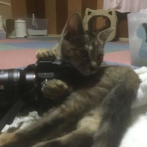 (子猫その71)カメラマンごっこに余念がない子猫について(猫1499)