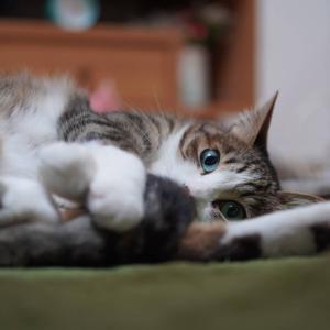 (猫1501)第一回とらの全身写真を探せ