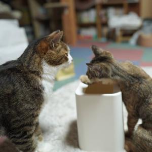 (子猫その72)猫カフェ行きたいって言いだす飼い主とゴミ箱倒す子猫と(猫1502)
