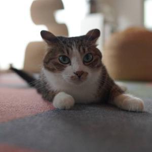 (子猫その75)背後警戒気味の愛猫と献血したい飼い主と(猫1505)