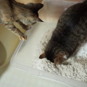 (子猫その77)お礼を言いたい飼い主と先輩のトイレ見学する子猫と(猫1507)