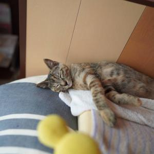 (子猫その78)スナドリネコさんと自由ポーズで眠る子猫と(猫1508)