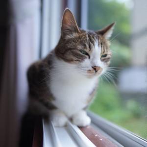 (猫1512)ふるさと納税する飼い主とお外ガン見の愛猫と