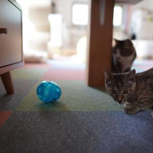 ダイニングテーブルに思いをはせる飼い主とおやつを愛猫に出させる子猫と(子猫その83)(猫1514)