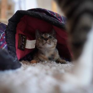 朝布団が湿ってる件で子猫を追求する話(子猫その86)(猫1517)