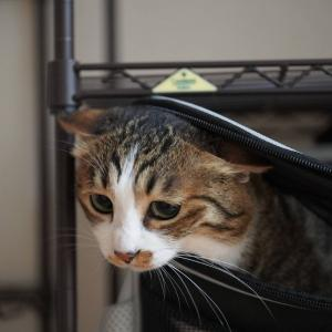 (猫832)キャリーバッグに侵入する愛猫と台風にそわそわする飼い主と