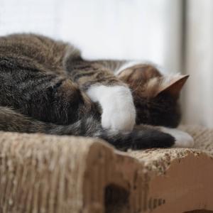(猫834)出勤日が分かる愛猫と日向で毛づくろいを連射する飼い主と