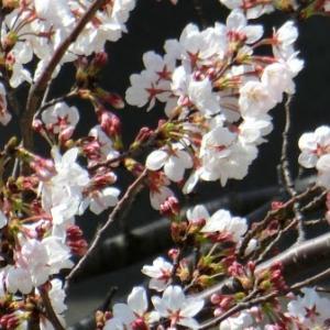 月命日です & 桜咲いてきました