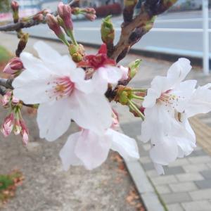 コロナの恐怖もやっつけろ!桜と夕焼けと夕焼け散歩