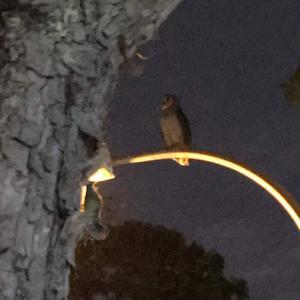 フクロウが公園に居た!